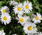 🔥 Gänseblümchen echtes Wiesengänseblümchen 100 Samen essbar Bellis perennis