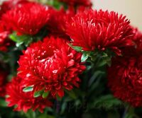 RED PAEONY CHINA ASTER DUCHESSE - TALL - 250 SEEDS - Callistephus Chinensis