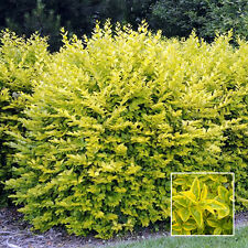 5 X GOLD PRIVET LIGUSTRUM AUREUM EVERGREEN HARDY DENSE HEDGING PLANT IN POT
