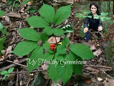 SEEDS Extra Rare!! WILD CANADIAN Ginseng STRATIFIED Ready for 2017-2018 Season!
