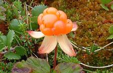 Cloudberry, Salmonberry, Rubus chamaemorus 10+ seeds