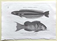 1803 Shaw SCARCE COPPER PLATE ENGRAVING Broad-Striped LABRUS/Labre Deux-Cro FISH