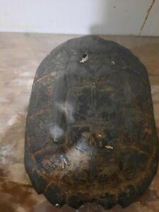 turtle shell taxidermy