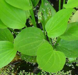 Froschlöffel winterharte Wasserpflanze für draußen den Gartenteich Teichpflanze