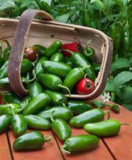 """""""BEST ON EBAY"""" 25 JALAPENO HOT PEPPER SEEDS - FRESH NON-GMO"""