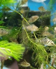 New listing Hybrid Chiclid Electric Blue Acara / Black Convict (Pack of 5)