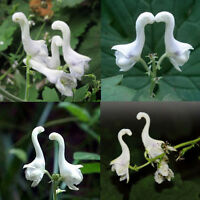 100pcs Rare Swan Flowers Seeds Characteristics White Flower Plant Home Decor New