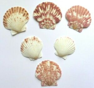 Scallop Shells Natural White Brown 3-5cm Pack 10 Seaside Crafts Home Decoration