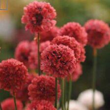 6 ARMERIA BALLERINA RED MEDIUM PLUG PLANTS - HP