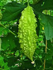 SEEDS 8 graines de MARGOSE DE CHINE(Momordica Charantia) KU GUA BALSAM PEAR