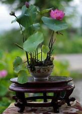 Nelumbo nucifera Samen, Bonsai Lotus, Bowl Lotus, Direktimport aus china
