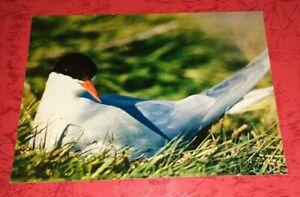 SEESCHWALBE Swallow Vogel Bird Tier Postkarte Postcard Ak Tierpostkarte