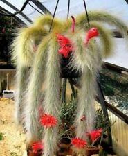 100x Hildewintera Cleistocactus Colademononis Monkey Tail Seeds  Perennial Plant