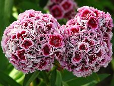 DOUBLE FLOWERS SWEET WILLIAM Dianthus Barbatus Hardy Perennial 200 Seeds