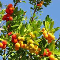 Strawberry Tree seeds - Arbutus unedo