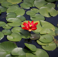 Liveseeds - Mini Yimeng Red Bonsai Lotus/ Water Lily Flower /5 Fresh Seeds