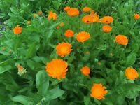 CALENDULA OFFICINALIS ou Souci lot 150 Graines-Seeds BIO King Marigold Seeds