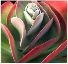 (15) Kalanchoe Thyrsiflora Seeds - xeriscaping mesemb succulents - Comb. S&H