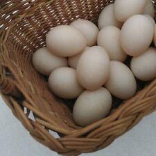 10 Ancona Duck Fertile Eggs Black Chocolate And Blue Plumage