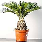 Sago Palm+1 foot tall+Live Plant+Fully Rooted+1 Live Plant