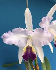 Cattleya trianae Coerulea 'Miami Woc' X lueddemanniana coerulea Am 3� Pot (15)
