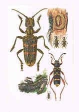 Eichen-Zangenbock Rhagium sycophanta Farbdruck von 1959 Echte Widderbock Coleopt