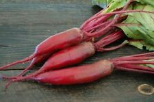 150+ Cylindra Beet Seeds-NON GMO-Open Pollinated-Organic