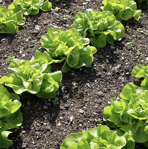 100 Lettuce WINTER DENSITY Seeds – Easy To Grow – Hardy Variety – Free Postage