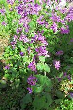 10 Samen Lunaria annua - Silberblatt - Mondviole - Common honesty Biogarten 2021