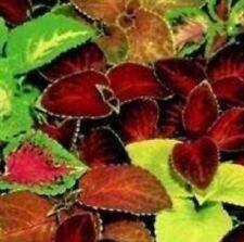 Coleus - Super Rainbow Mixed - 250 Seeds