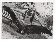 PHOTO DE PRESSE AFP Un vautour Landes Ailes dépliées Curiosité 1975 Rapace