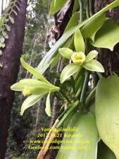QOB Orchid Plant Vanilla bean orchid  90mm pots