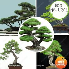 Pack Spruce Picea Seeds Plants Tree Potted Bonsai Courtyard A Blue Garden 50pcs