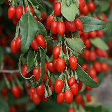 GOJI  Berry 100 seeds Unusual healthy food garden