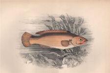 JAGO'S GOLDSINNY. Ctenolabrus rupestris. COUCH 1862 antique print picture
