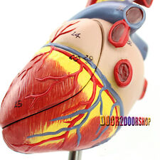Human Heart Anatomy Model in 2 part with Removable Stand