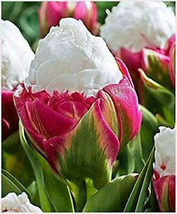 Ice Cream Tulips Bulbs  Double Bulbs Size 11/12 Pink Green White Spring Flowers