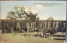 "Pennsylvania Postcard Young Birds of Bloomsburg Ostrich Farm 1912 ""Sweethearts"""