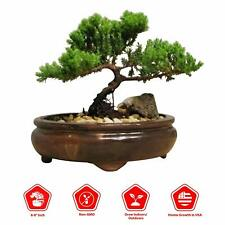 Bonsai Tree Indoor Juniper Japanese Art Live House Plants Dwarf Trees in Contain