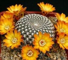 SULCOREBUTIA ARENACEA Cactus, yellow/orange flowers succulent plant in 70mm pot
