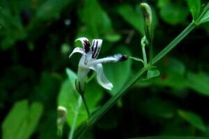 Green Chiretta - Creet - Chuan Xin Lian - Andrographis paniculata - 10+ seeds