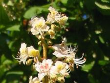 Chestnut Bud Multi-Potency Bach Flower Essence Remedy 15 ml - Learning From Past