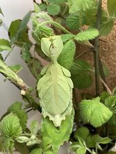 X30Eggs/oeufs Phyllium gantungense «Rizal» (leaf-insect/phasme/Phasmid) RARE!!