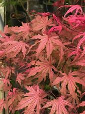 Japanese Maple Olsens Frosted Strawberry