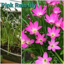 Rain Lily, bog plant, pond plant, Free Ship 5 plants