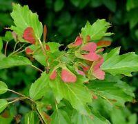 Baum Samen: Feuerahorn schöne Herbstfärbung für ihren Garten - winterhart !