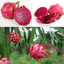 Red, Dragonfruit, rooted plants, SFP- 318, 6 Inch Height , (Vietnamese ),