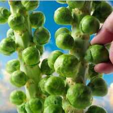 Seeds Brussels Sprouts Cabbage Green Vegetable Organic Heirloom Russian Ukraine