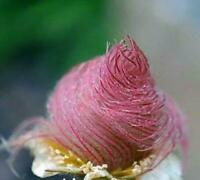 25 Prairie Smoke Seeds - Made in USA, Ships from Iowa. Rare and Hard to Find