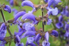 120 Samen Wiesen-Salbei Salvia pratensis Heilpflanze